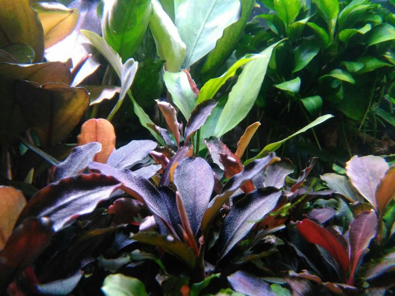 Acuario bucephalandra