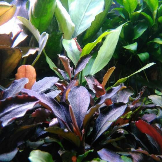 Bucephalandra en tiesto
