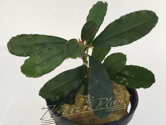 Bucephalandra Aphrodite ManPlan