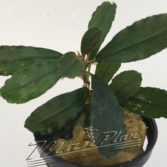 Bucephalandra Aphrodite