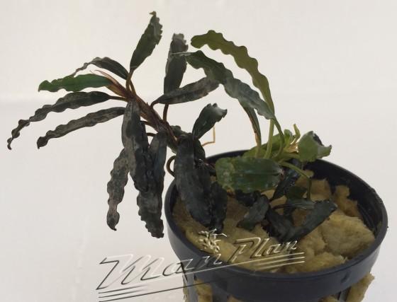 Bucephalandra Bibis ManPlan