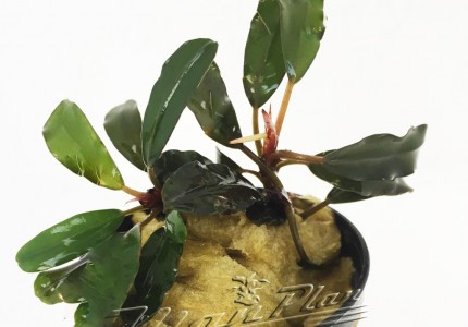 Bucephalandra Black Ventii