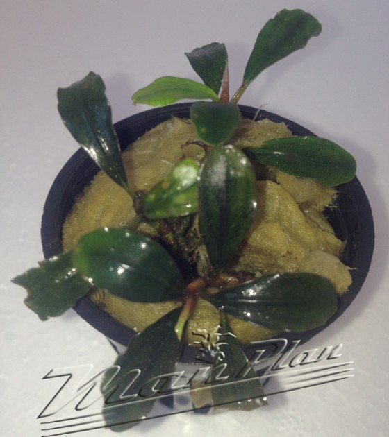 Bucephalandra Brownie ManPlan