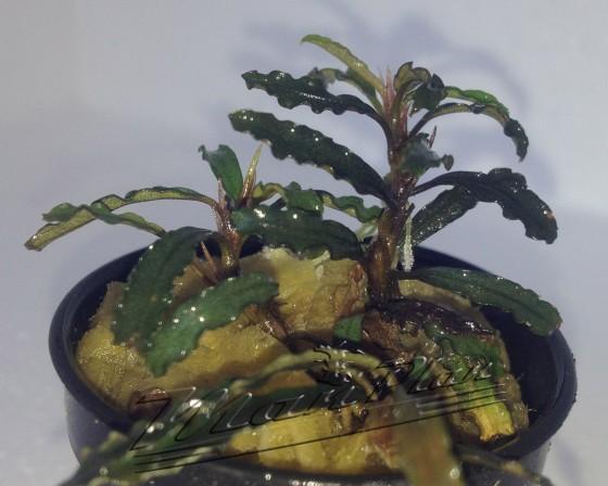 Bucephalandra Catherine ManPlan