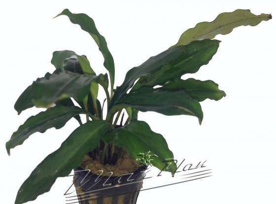 Bucephalandra Entikong ManPlan