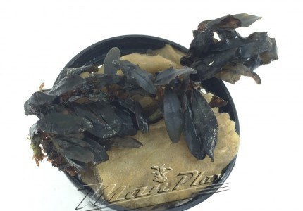 Bucephalandra Gaia ManPlan