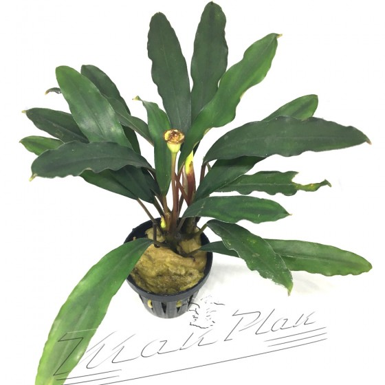 Bucephalandra Kapuas Hulu (2) ManPlan