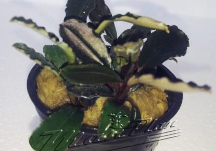 Bucephalandra Maia