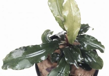Bucephalandra Melawi