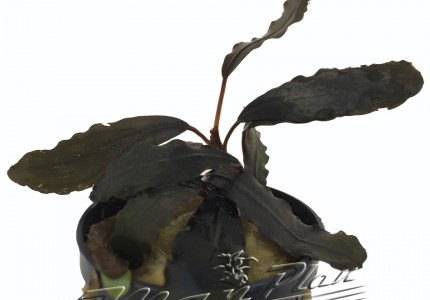 Bucephalandra Montleyana