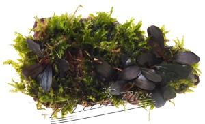 Bucephalandra en Roca 8 ManPlan