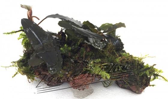 Bucephalandras en roca 11 ManPlan
