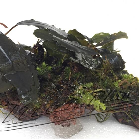 Bucephalandra en roca