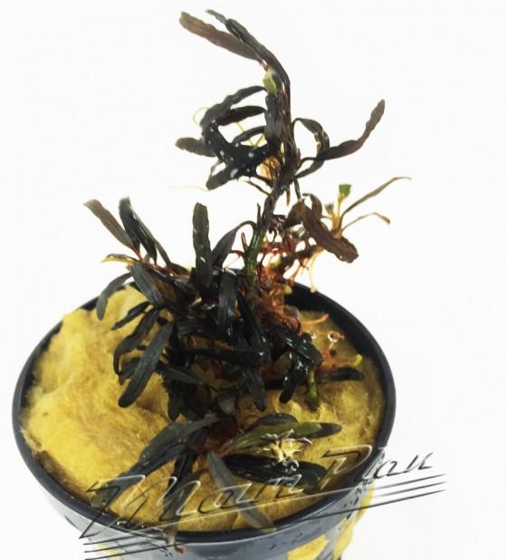 Bucephalandra Giant Catherinae ManPlan