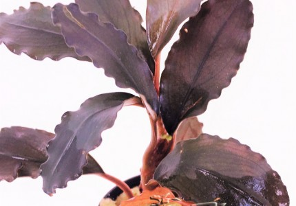 Bucephalandra Lalina Green
