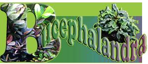 Bucephalandra, planta mágica de Borneo
