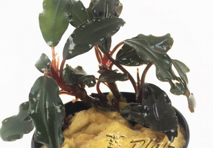 Bucephalandra Tick Bronce