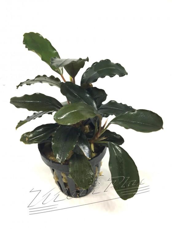 Bucephalandra Alamanda V3 Dark (2) ManPlan