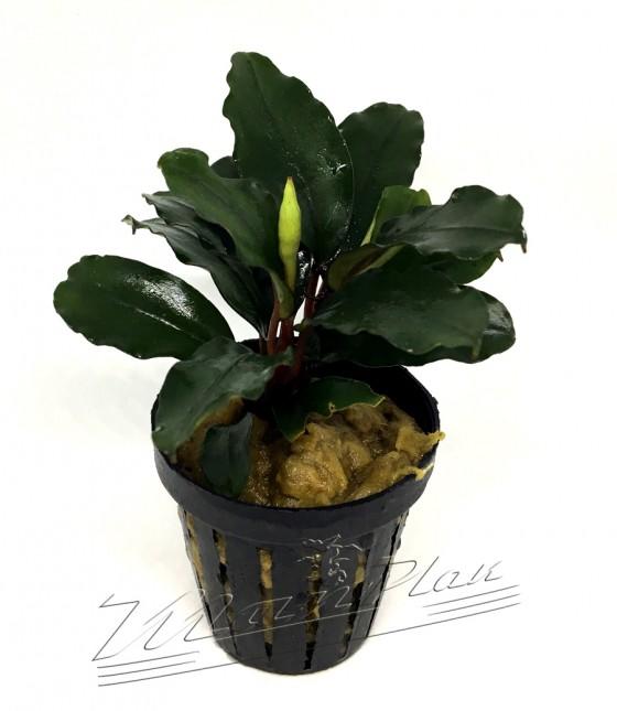 Bucephalandra aragon (3) ManPlan
