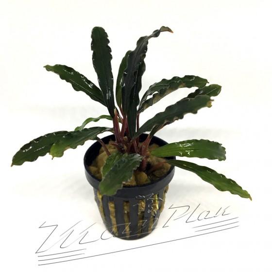 Bucephalandra biblis PINK Green (3) ManPlan