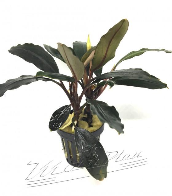 Bycephalandra Achilles BLACK DARK (3) ManPlan